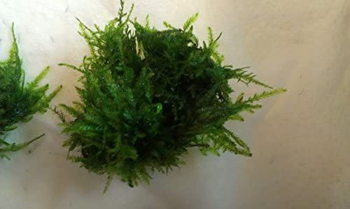 Peacock moss True Variety Freshwater Live Moss Taxiphylum  product image 6