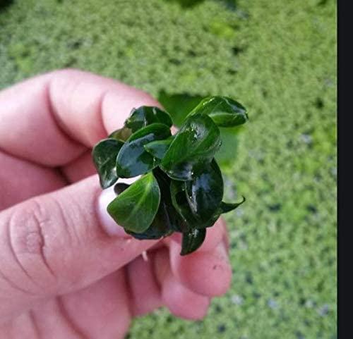 Aquarium Live Water Plants A05 product image 2