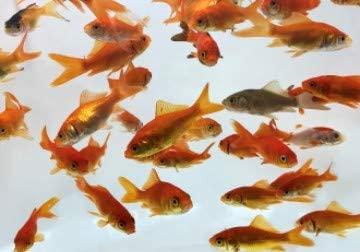 Toledo Goldfish  product image 4