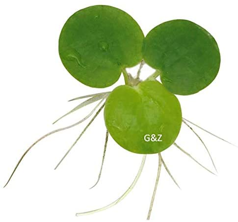 G'z  product image 5