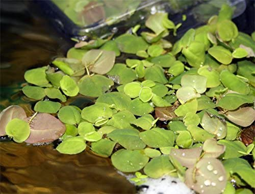 Water Plants  product image 5