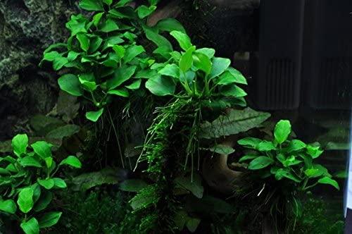 Aquarium Plants Factory  product image 6