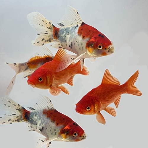 Toledo Goldfish  product image 7