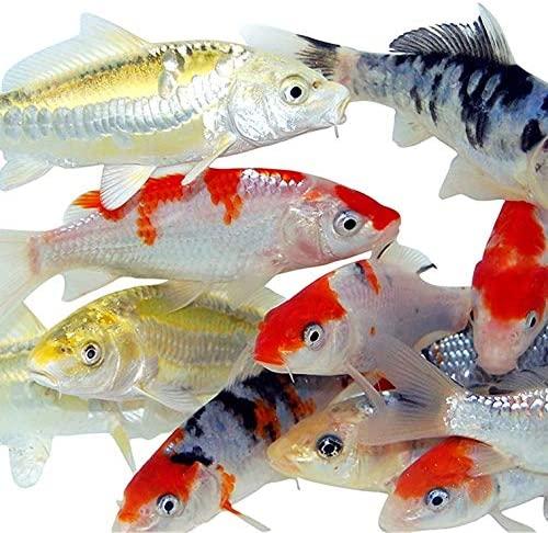 Toledo Goldfish  product image 2