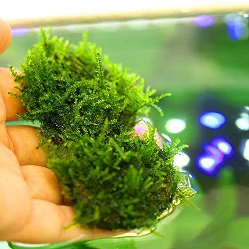 Aquarium Live Water Plants  product image 6