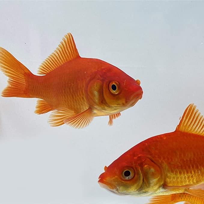Toledo Goldfish  product image 9