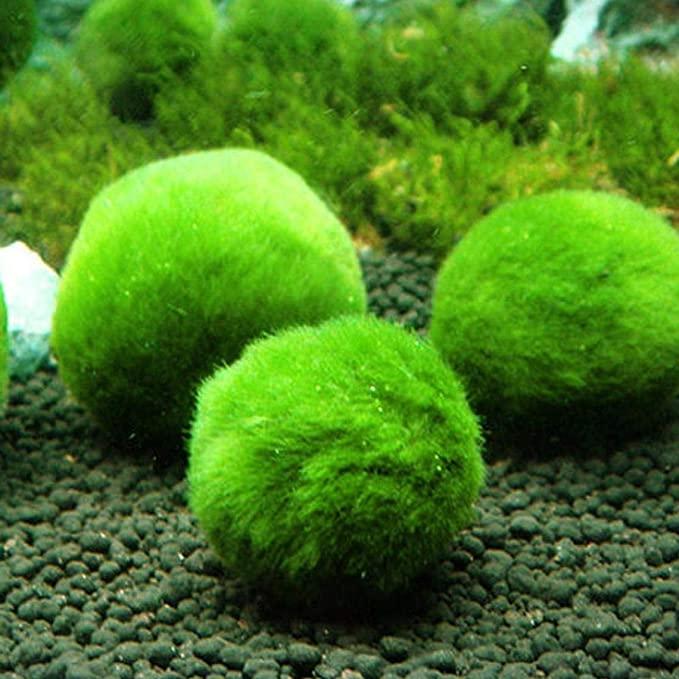 Sova Marimo  product image 8