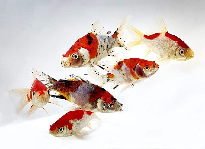 Toledo Goldfish  product image 5