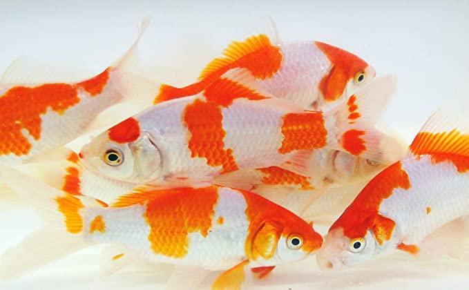 Toledo Goldfish  product image 11