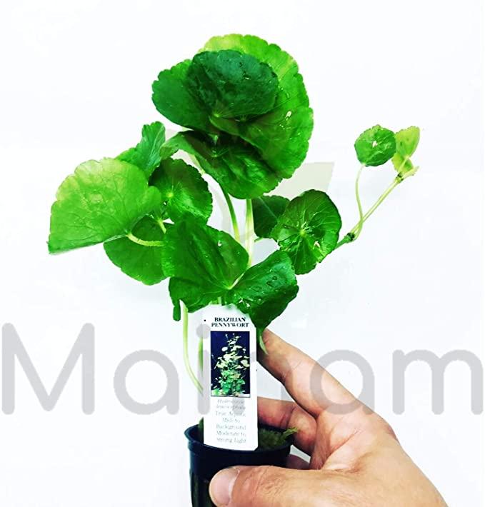 Mainam  product image 11