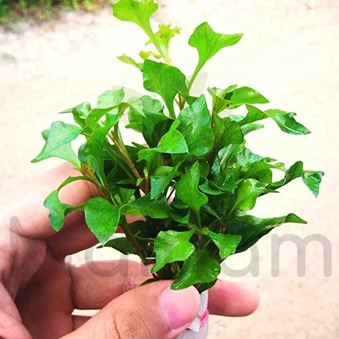 Mainam  product image 9