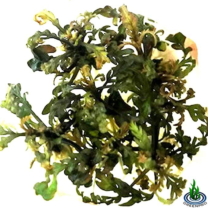 Greenpro  product image 4