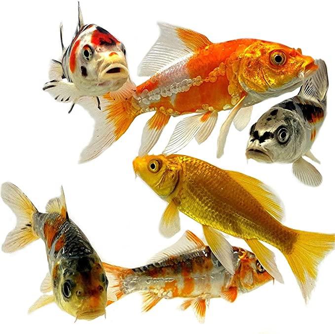Toledo Goldfish  product image 3