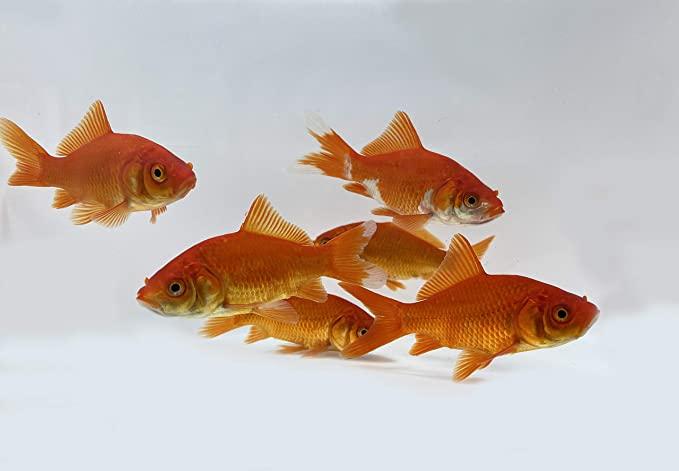 Toledo Goldfish  product image 6