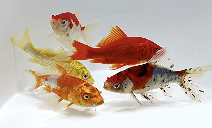 Toledo Goldfish  product image 8