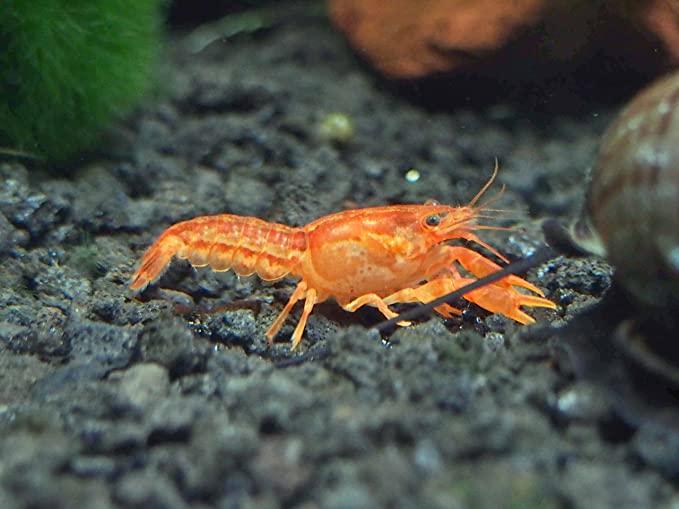 Aquatic Arts Crayfish product image 5