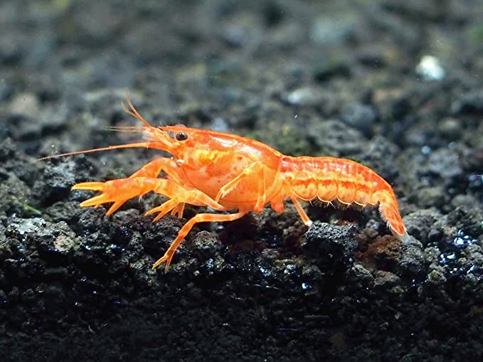 Aquatic Arts Crayfish product image 3