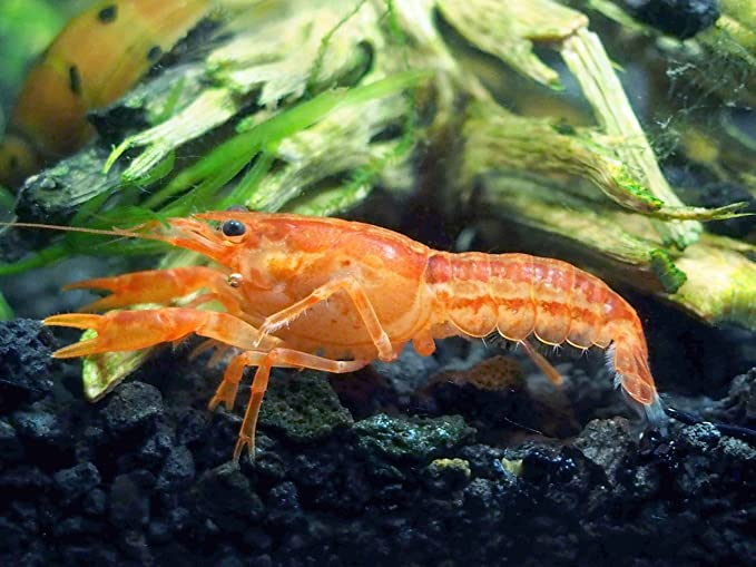Aquatic Arts Crayfish product image 2